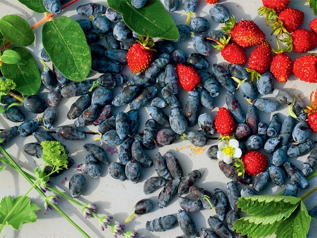 Geerntete Sibirsche Honigbeeren und Erdbeeren