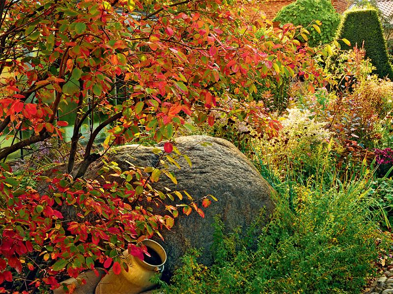 Herbstfärbung der Felsenbirne