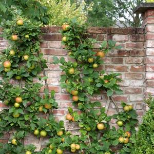 Apfelsorte an der Mauer