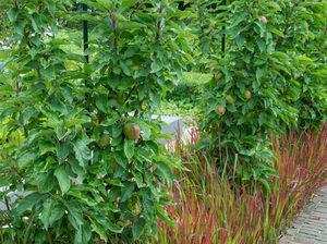 Apfelbaumreihe und Ziergrässer
