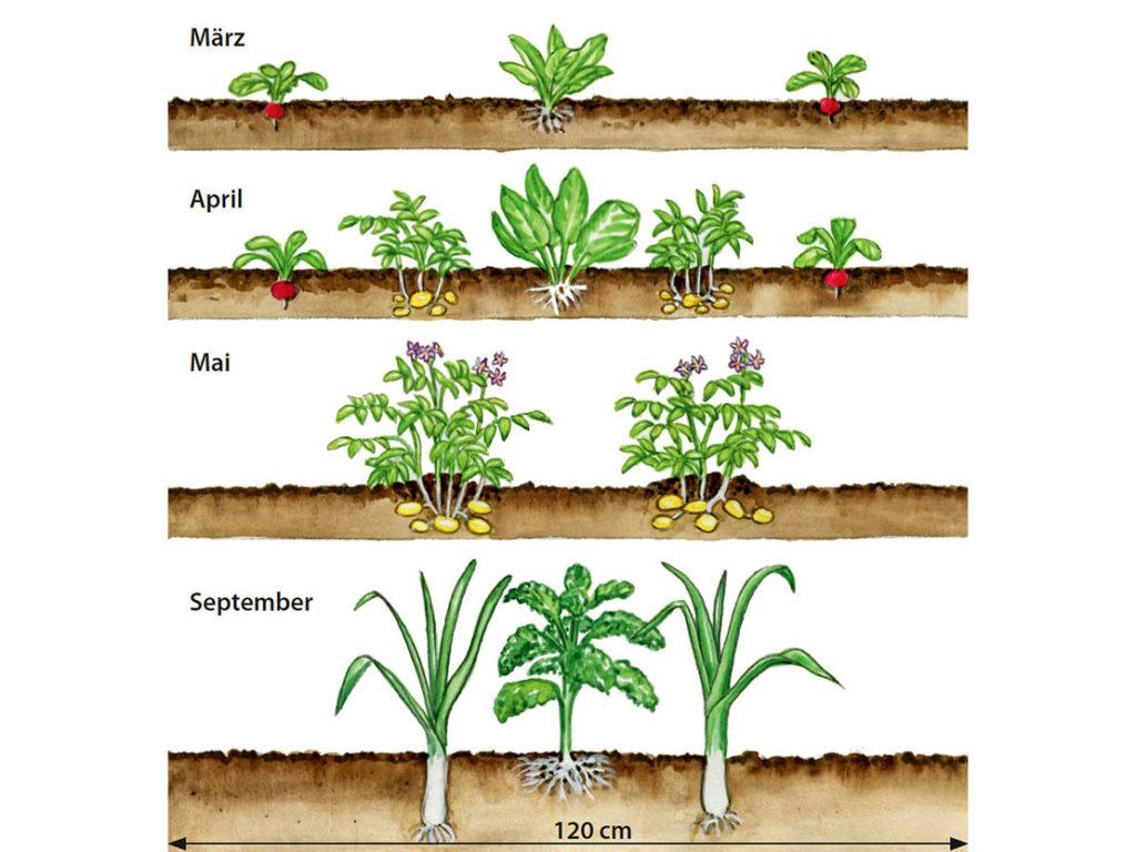 Fruchtfolge - inerhalb eines Gartenjahrs