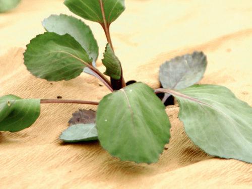 Eine frische Pflanze durch Mulchen