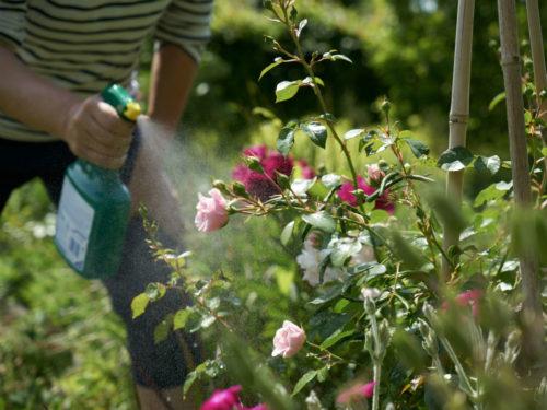 Schadbilder an Rosen werden mit Ackerschachtelhalm-Brühe bekämpft