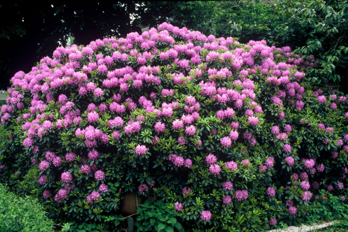 Rhododendron 'Catawbiense Grandiflorum'