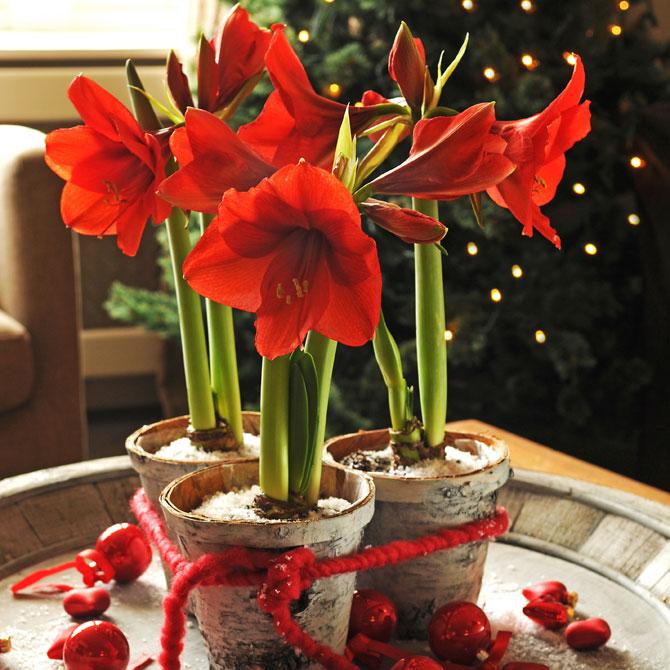 Amaryllis in festlichem Rot
