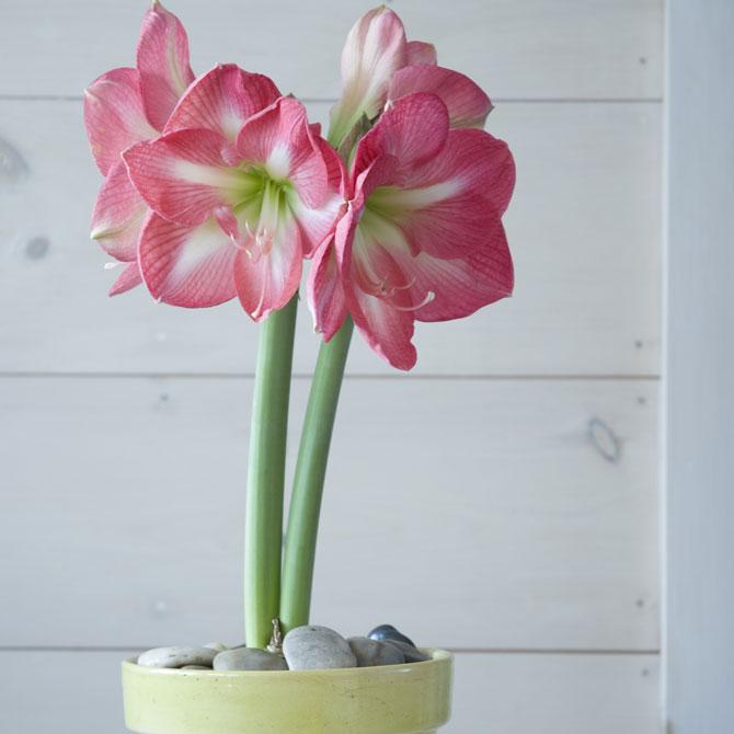 Amaryllis im Topf mit sanft pinken Blüten