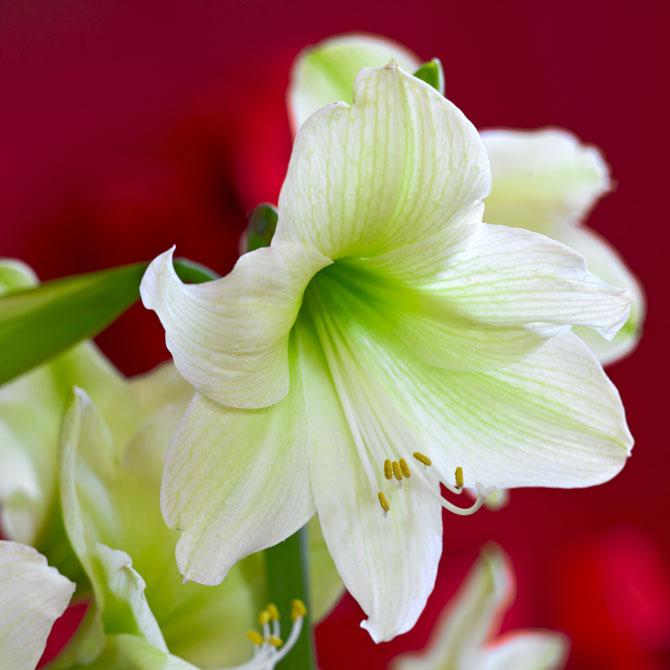 Weiße Amaryllisblüte in Großaufnahme