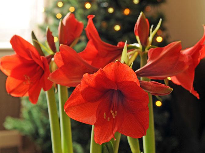 Amaryllis – Eine Winterliebe