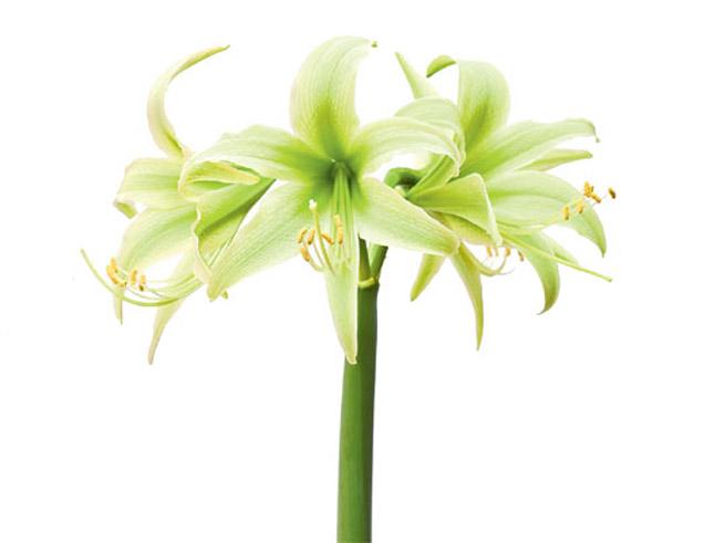 Weiße Amaryllis vom Typ Evergreen