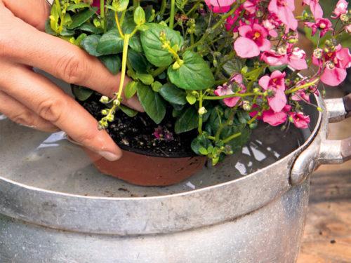 Balkonblumen pflanzen: Wasserbad für die Wurzeln