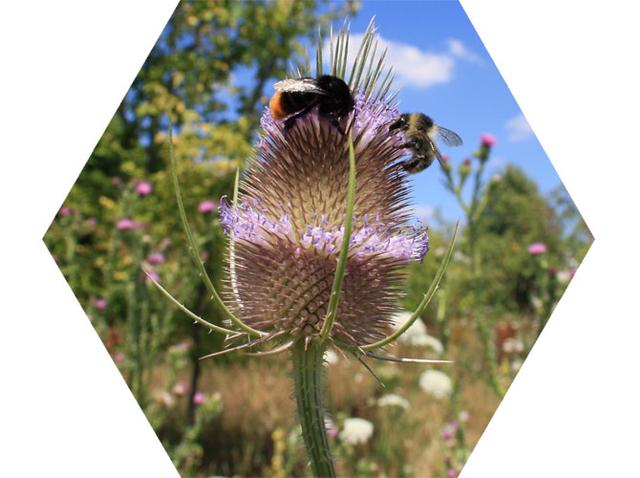 Bestäuber auf Bienemweide