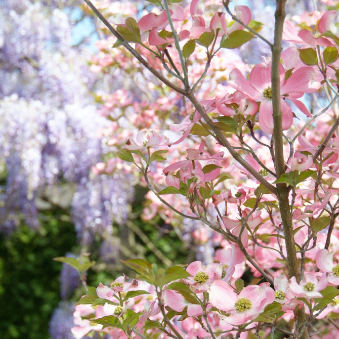 Rosafarbener Blauregen