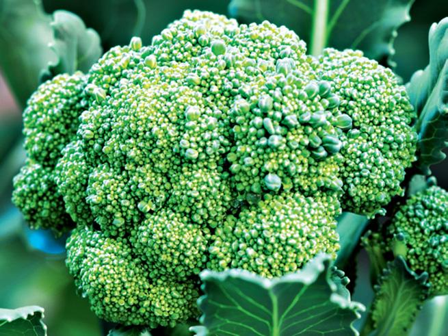 Schöner reifer Brokkoli