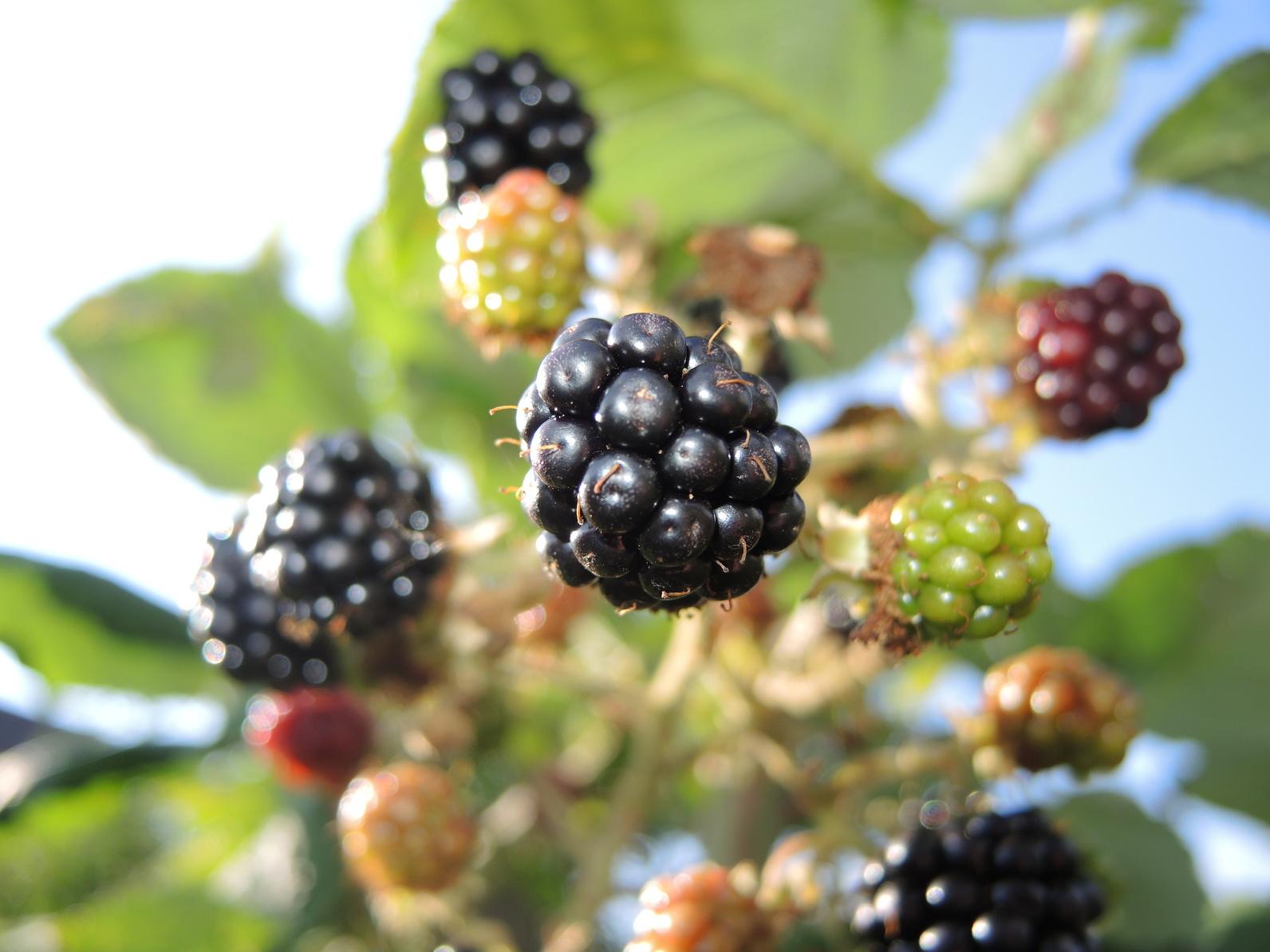 Prächtig Neue, aromatische Brombeeren ohne Dornen | GartenFlora &GZ_65