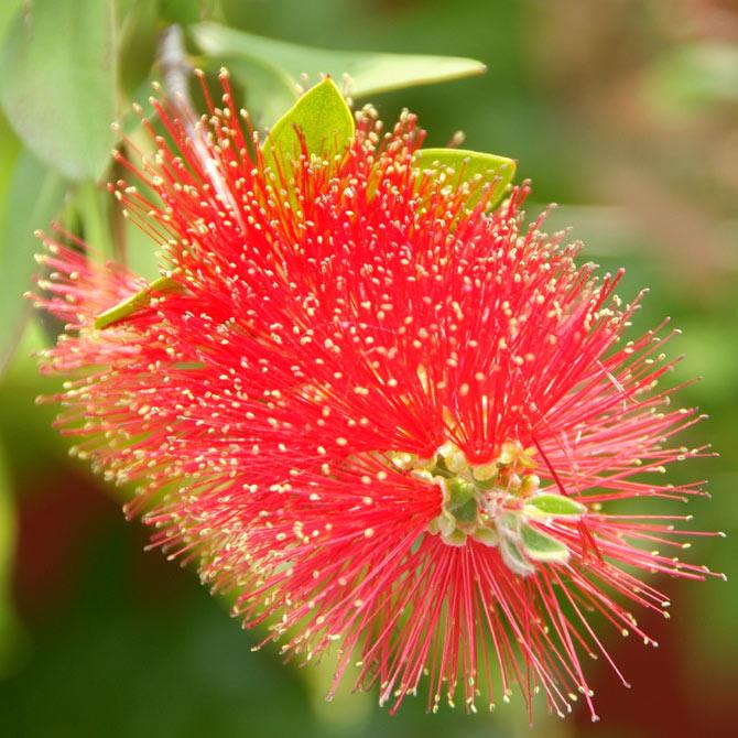 Die Blüte des Zylindermon