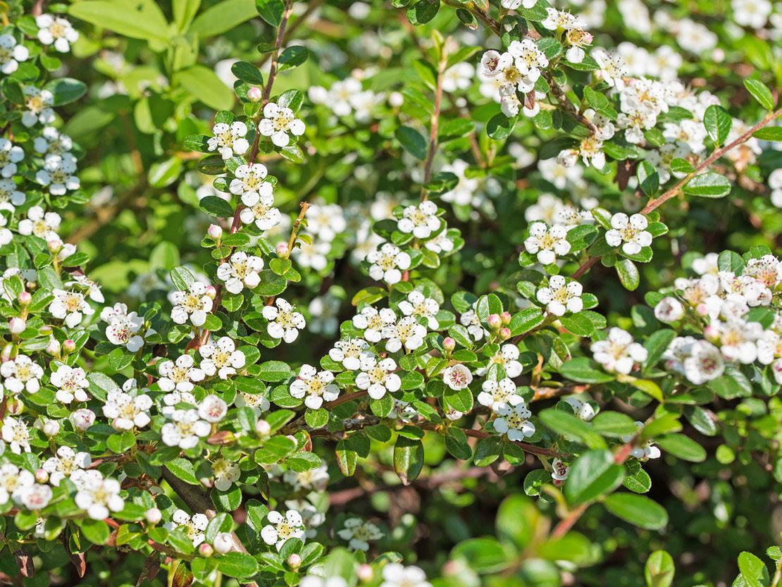 Cotoneaster Das Verkannte Genie Gartenflora