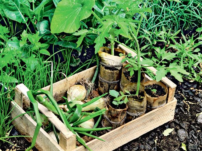 Vorkulturen im Gemüsebeet für die Fruchtfolge