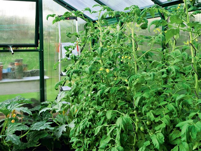 Hochgezogene Tomaten im Gewächshaus
