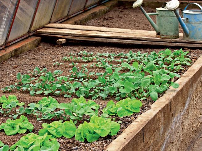 Salate als Gemüse im Gewächshaus pflanzen
