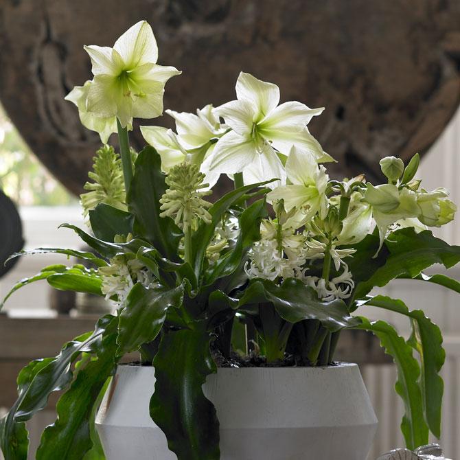 Arrangement aus weißen Amaryllis mit weiteren Pflanzen