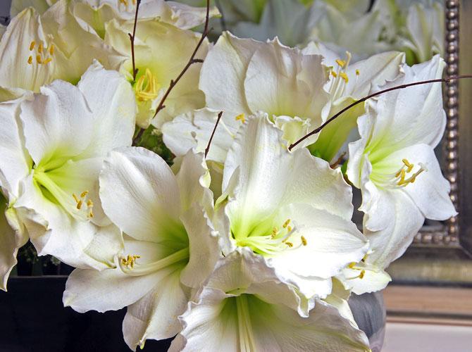 Amaryllis in Weiß mit Holzzweigen