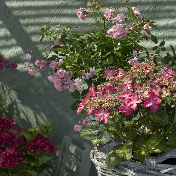 Hortensien als Kübelpflanzen im Korb