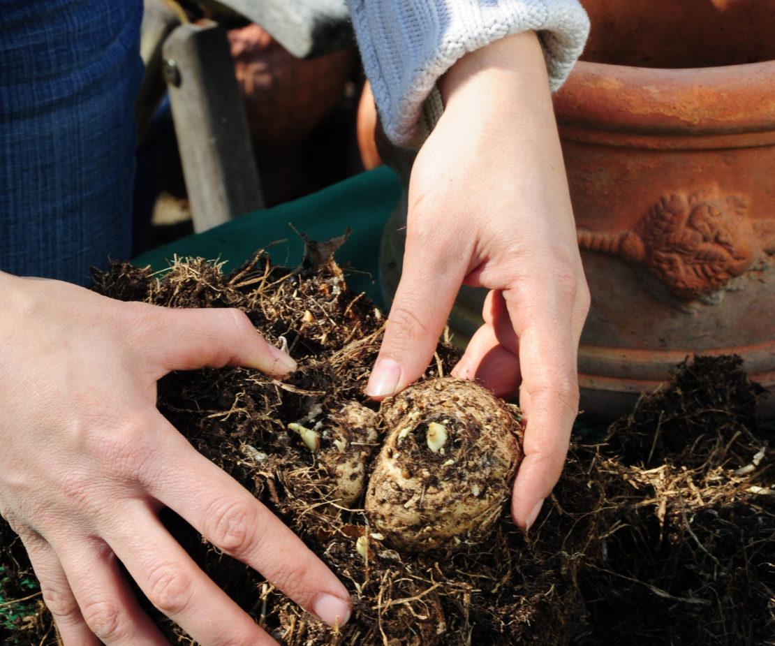 Kübelpflanzen umtopfen Hand mit Knolle