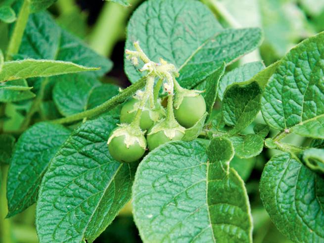 Kartoffeln aussäen: Früchte ernten