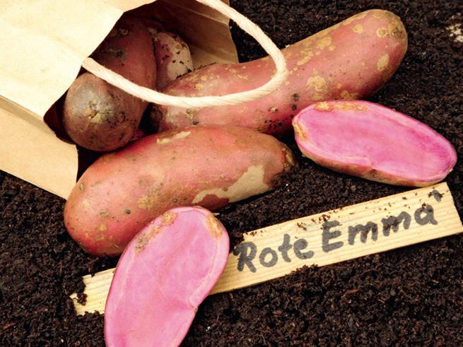 Eigene Kartoffelernte