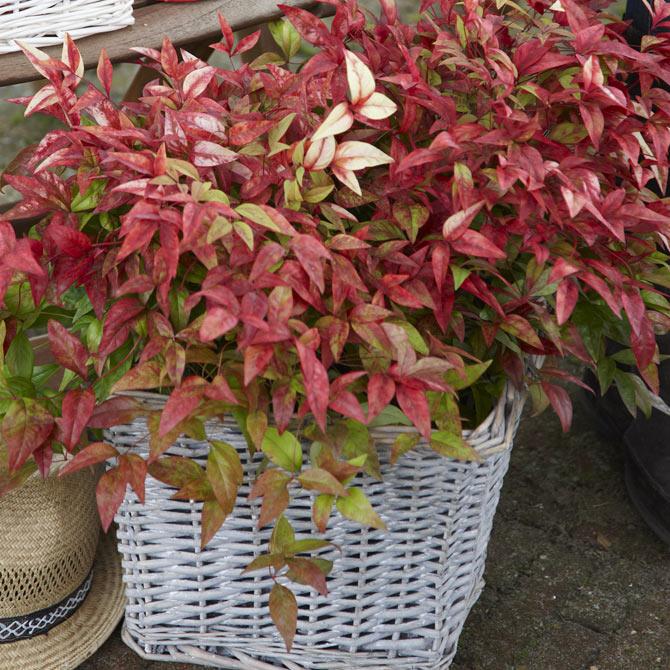 Das Rot der winterharten Kübelpflanze Leucothoe leuchtet stark.
