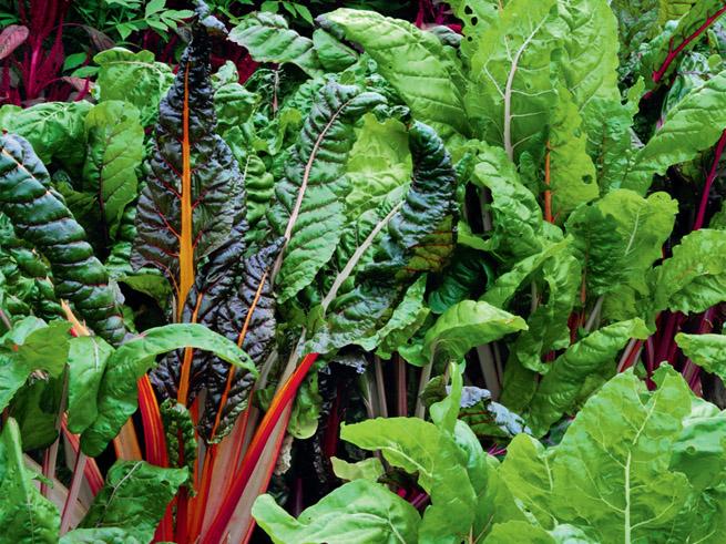 Mangold im Nutzgarten als Gemüse