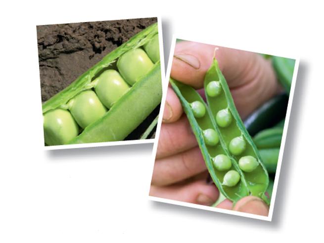 Erbsen sind klassische Schwachzehrer. Sie machen es möglich eine gute Fruchtfolge im Gemüsebeet zu planen.