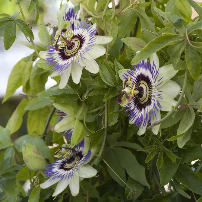 Die Passionsblume - Was für eine Blütenpracht!