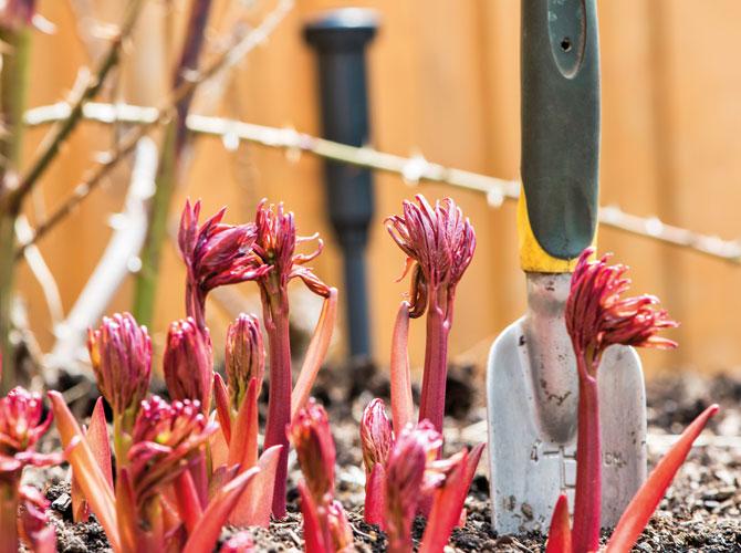 Pfingstrosensprossen zum Start der Gartensaison benötigen besondere Gartenpflege