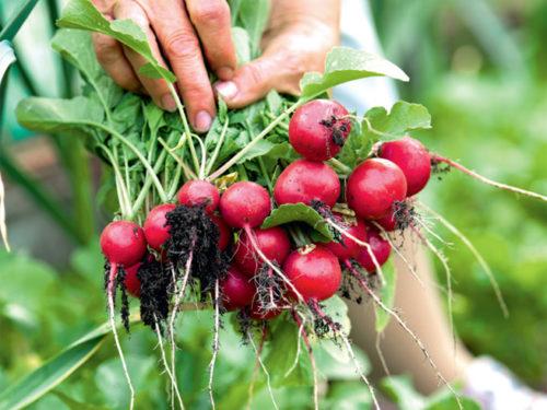 Radieschen als Mittelzehrer in der Fruchtfolge