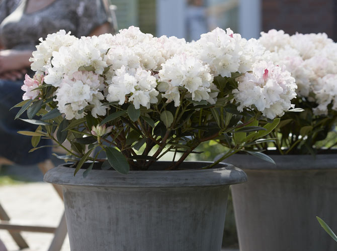 Winterharter Rhododendron im Kübel