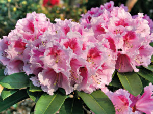 Blüte Hoher Rhododendron