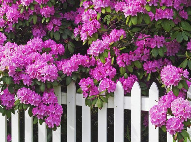 Rhododendron Pflege Die Besten Tipps Gartenflora