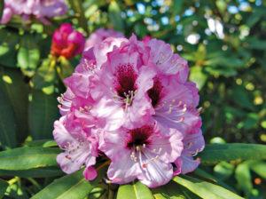 Blühende Rhododendron Calophytum, auch 'Sarastro' genannt