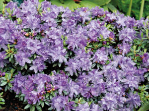 Blühender Rhododendron impeditum, auch 'Ronny'