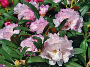Blüte der Rhododendron Yakushimanum