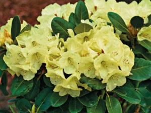 Blüte Friesiane