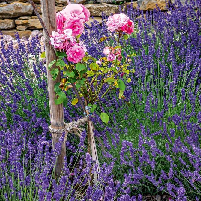 Rosenstämmchen kombiniert mit Lavendel-Stauden
