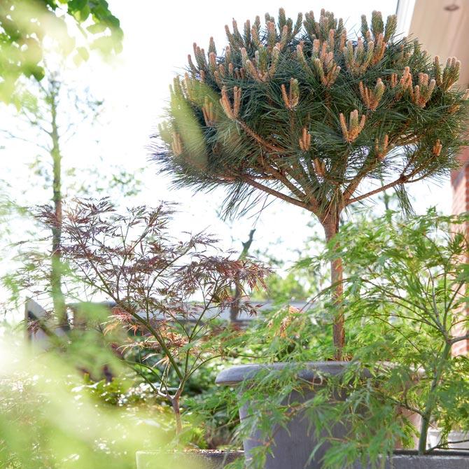 Auch kleine Stämmchen wie diese Schwarzkiefer eignen sich als winterharte Kübelpflanze.
