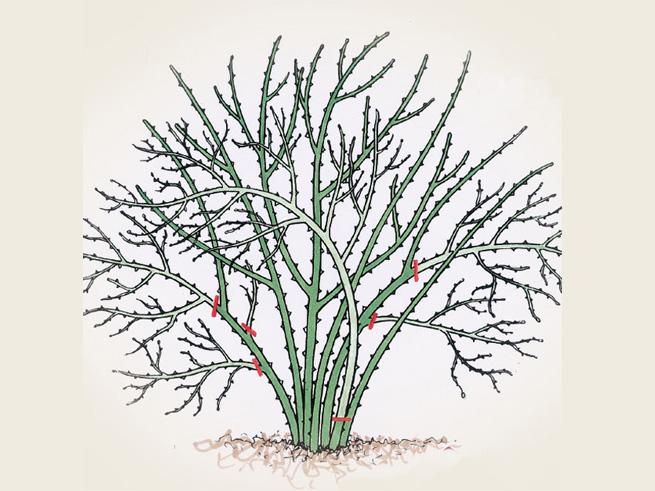Rosen Schneiden -  Schnittstellen der Einmalblühenden Strauch-Rose