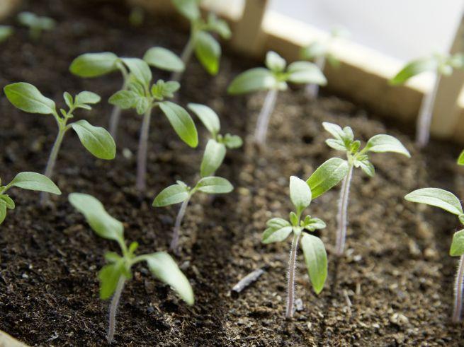 Vorziehen von Tomatenpflanzen im Gewächshaus, Detailaufnahme der ersten Pflanzentriebe