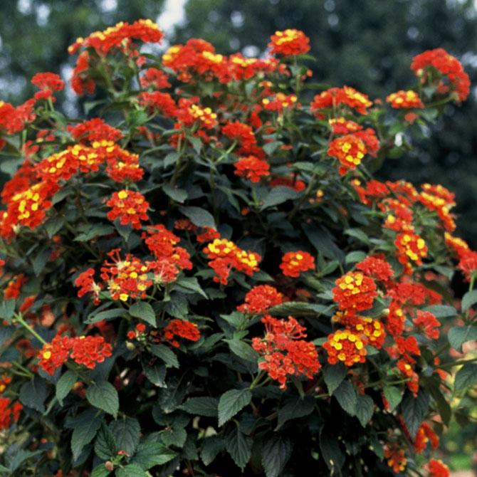 Das Wandelröschen - Die feurige Balkonpflanze