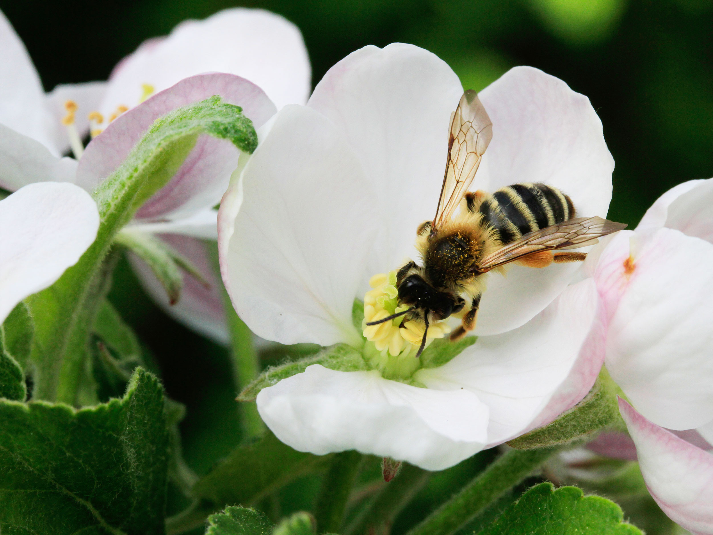 Bienen Und Hummeln Helfen Mit Spatbluhenden Geholzen Gartenflora