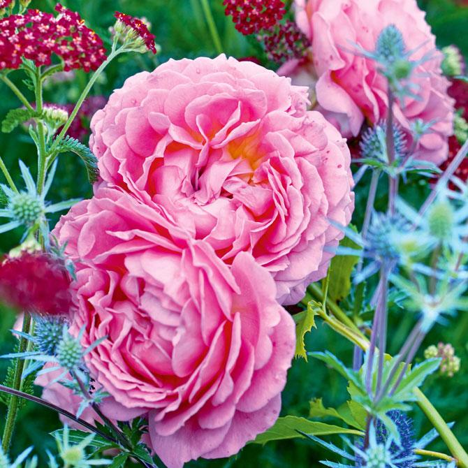Eine englische Rose kombiniert mit verschiedenen Stauden