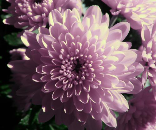 Blüte der Winteraster